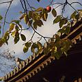 写真: 木守柿