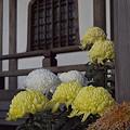 写真: 菊