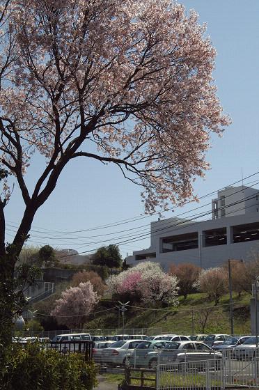 写真: 東戸塚の桜 01