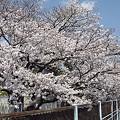 写真: 東戸塚の桜 14