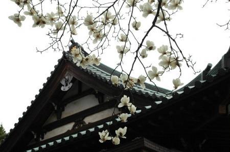 妙法寺のハクモクレン