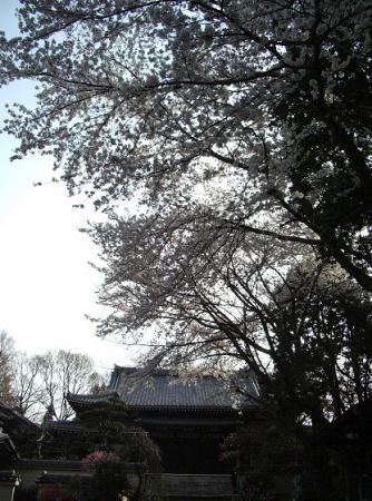 北天院の桜