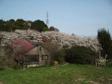 肥田牧場と西口の桜