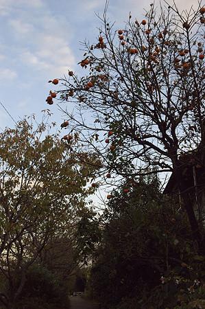 阿久和川遊歩道 柿の木