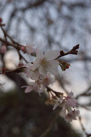 阿久和川遊歩道 冬桜01