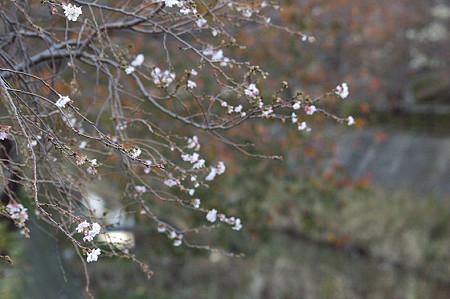 阿久和川遊歩道 冬桜02