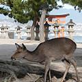 写真: 宮島の鹿 大鳥居を背景に
