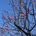写真: 梅が咲いた