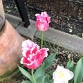 Photos: チューリップが咲いた