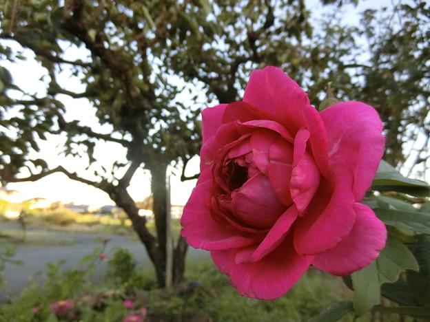 イングリッシュローズが咲きました♪