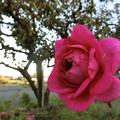 写真: イングリッシュローズが咲きました♪