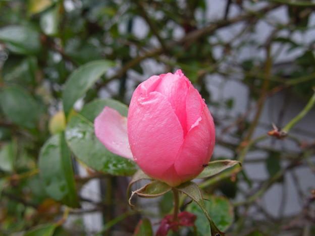 写真: 2016.2.12 薔薇 サマーモルゲン