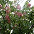 2018.4.24 紅花栃の木