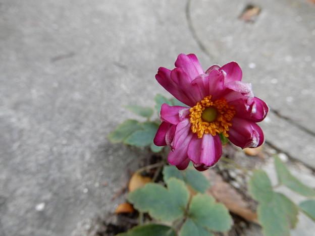 2018.10.22 秋明菊