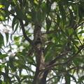 Pied Fantail(ムナオビオウギビタキ)