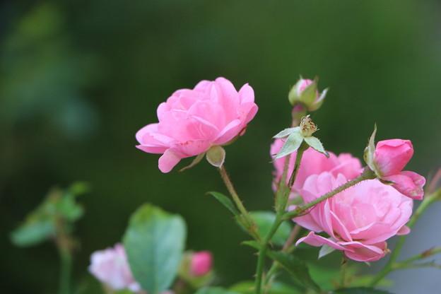 写真: ピンクの秋薔薇