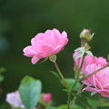Photos: ピンクの秋薔薇