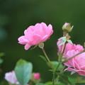 ピンクの秋薔薇