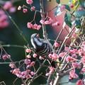 マユミの木にコゲラさん