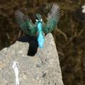 Photos: 綺麗なカワセミさんの羽