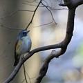 写真: 木の枝のルリビタキ