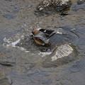 百舌鳥さんの水浴び