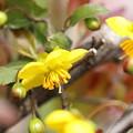 ミッキーマウスの木の花