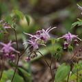 イカリソウの花