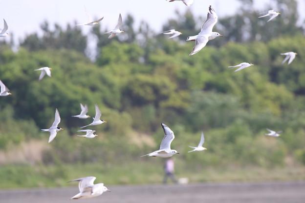 写真: ユリカモメとコアジサシの飛翔