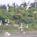 ユリカモメとコアジサシの飛翔