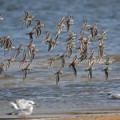 写真: ユリカモメとハマシギの飛翔