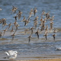 Photos: ユリカモメとハマシギの飛翔