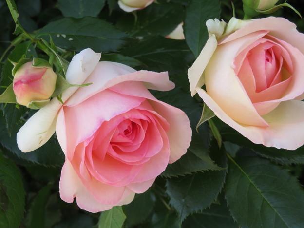 写真: 綺麗な薔薇