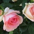 綺麗な薔薇