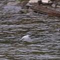 写真: ヤマセミの飛翔