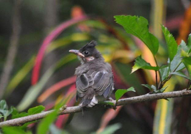 写真: コウラウンの幼鳥