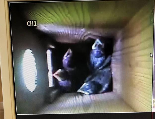写真: 巣箱の中のブッポウソウの雛さん