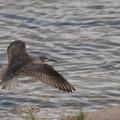 写真: キアシシギの飛翔