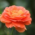 写真: 美しい薔薇