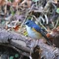 幸せの青い鳥