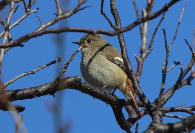 梅の木にジョウビタキ