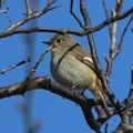写真: 梅の木にジョウビタキ