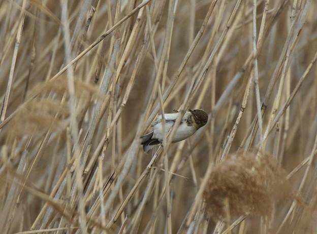 珍しい鳥さん オオジュリンの夏羽かな?