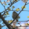 桜ウグイス