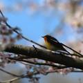 Photos: 桜キビタキ
