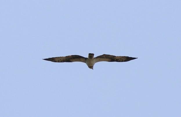 ミサゴの飛翔姿