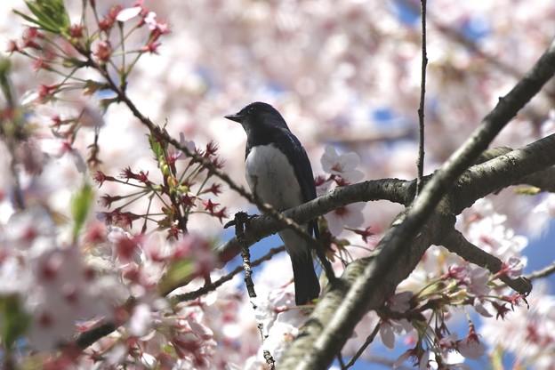 Photos: 桜オオルリ