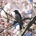 桜オオルリ