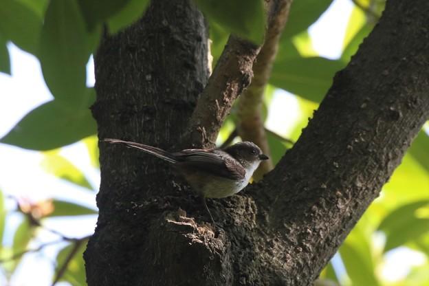 Photos: 可愛いエナガの幼鳥