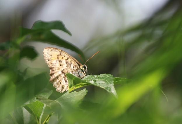 サトキマダラヒカゲ
